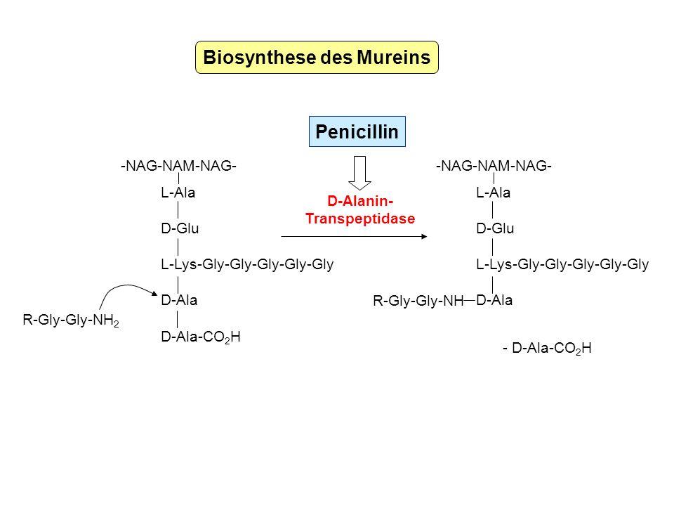 Biosynthese des Mureins L-Ala D-Glu L-Lys-Gly-Gly-Gly-Gly-Gly D-Ala D-Ala-CO 2 H -NAG-NAM-NAG- R-Gly-Gly-NH 2 L-Ala D-Glu L-Lys-Gly-Gly-Gly-Gly-Gly D-
