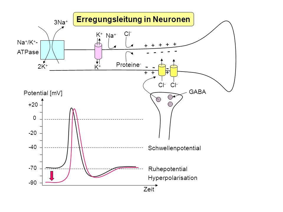 + + + + + - - - - - Erregungsleitung in Neuronen 2K + 3Na + Na + /K + - ATPase K+K+ K+K+ Na + Cl - Proteine - + + + + + - - - - - Cl - GABA +20 0 -20