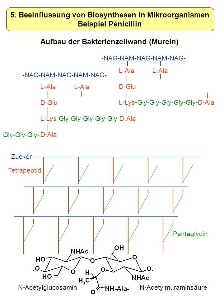 L-Ala D-Glu L-Lys-Gly-Gly-Gly-Gly-Gly-D-Ala D-Ala -NAG-NAM-NAG-NAM-NAG- 5. Beeinflussung von Biosynthesen in Mikroorganismen Beispiel Penicillin Gly-G