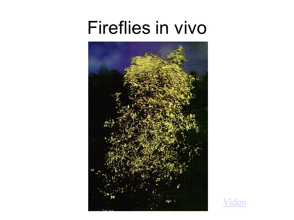 Fireflies in vivo Video