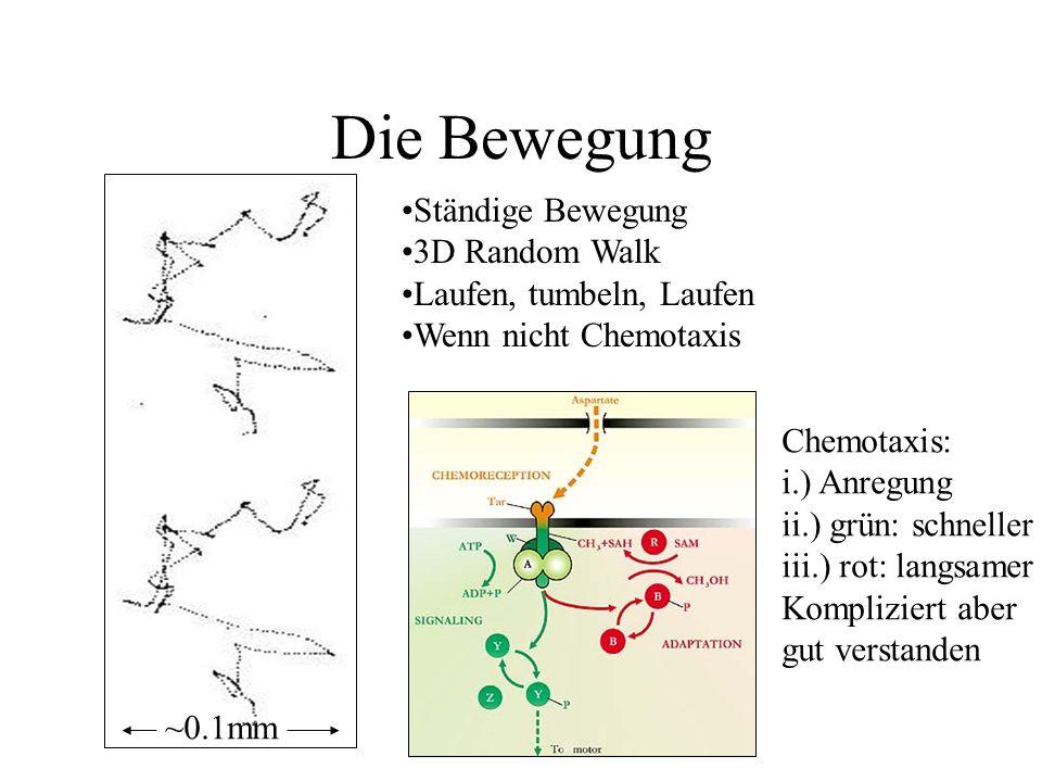 Die Bewegung ~0.1mm Ständige Bewegung 3D Random Walk Laufen, tumbeln, Laufen Wenn nicht Chemotaxis Chemotaxis: i.) Anregung ii.) grün: schneller iii.) rot: langsamer Kompliziert aber gut verstanden