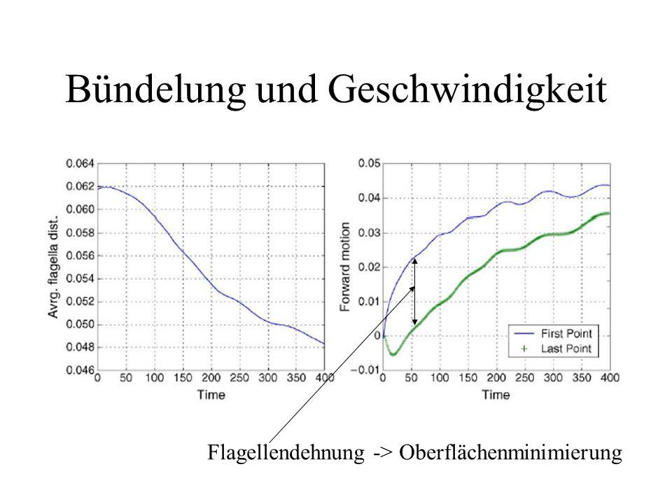 Bündelung und Geschwindigkeit Flagellendehnung -> Oberflächenminimierung