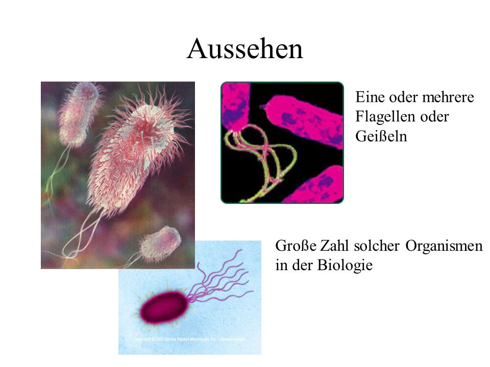 Aussehen Große Zahl solcher Organismen in der Biologie Eine oder mehrere Flagellen oder Geißeln