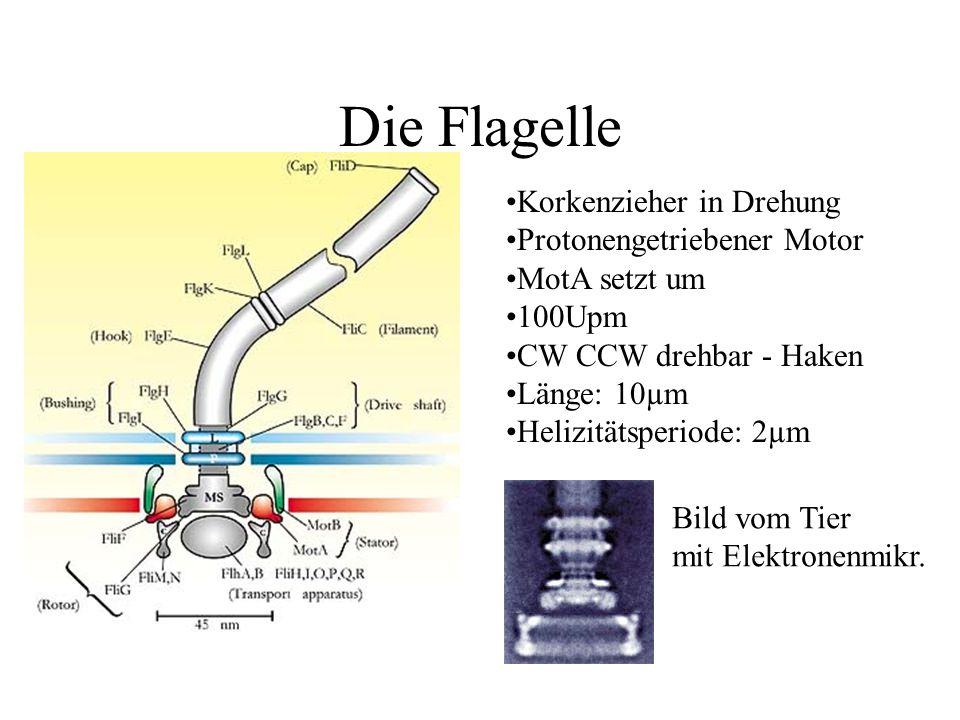 Die Flagelle Korkenzieher in Drehung Protonengetriebener Motor MotA setzt um 100Upm CW CCW drehbar - Haken Länge: 10µm Helizitätsperiode: 2µm Bild vom Tier mit Elektronenmikr.