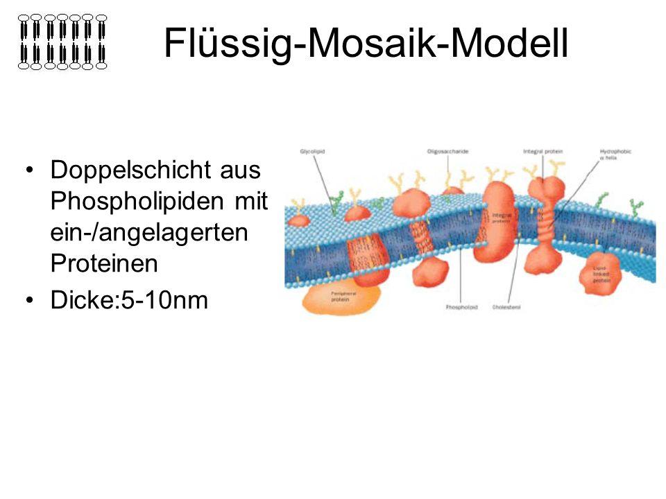 Flüssig-Mosaik-Modell Doppelschicht aus Phospholipiden mit ein-/angelagerten Proteinen Dicke:5-10nm