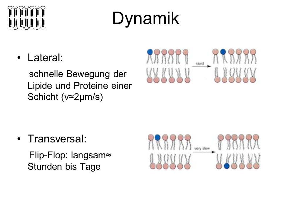 Dynamik Lateral: schnelle Bewegung der Lipide und Proteine einer Schicht (v2μm/s) Transversal: Flip-Flop: langsam Stunden bis Tage