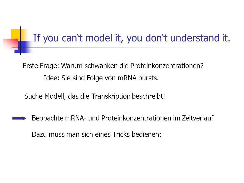 If you cant model it, you dont understand it. Erste Frage: Warum schwanken die Proteinkonzentrationen? Beobachte mRNA- und Proteinkonzentrationen im Z