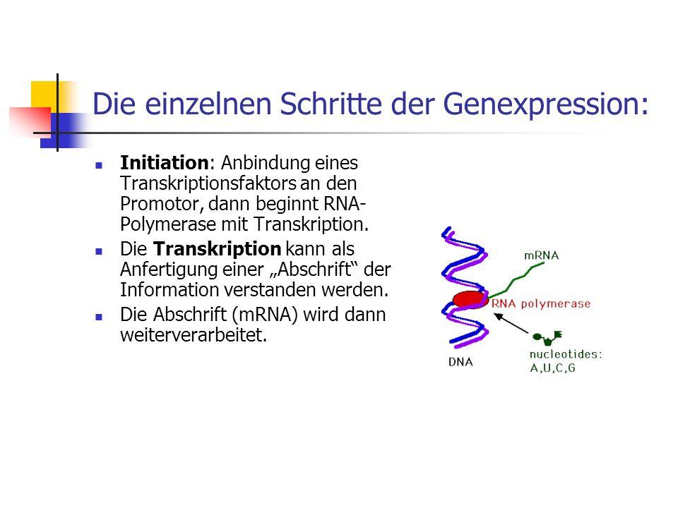 Die einzelnen Schritte der Genexpression: Initiation: Anbindung eines Transkriptionsfaktors an den Promotor, dann beginnt RNA- Polymerase mit Transkri