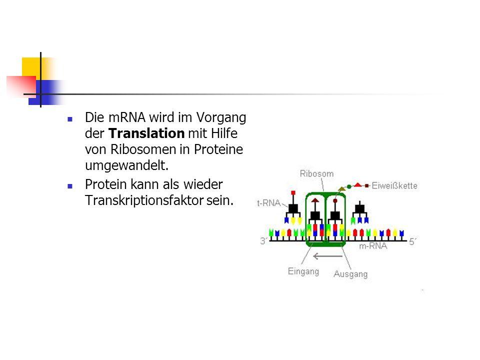 Die mRNA wird im Vorgang der Translation mit Hilfe von Ribosomen in Proteine umgewandelt. Protein kann als wieder Transkriptionsfaktor sein.