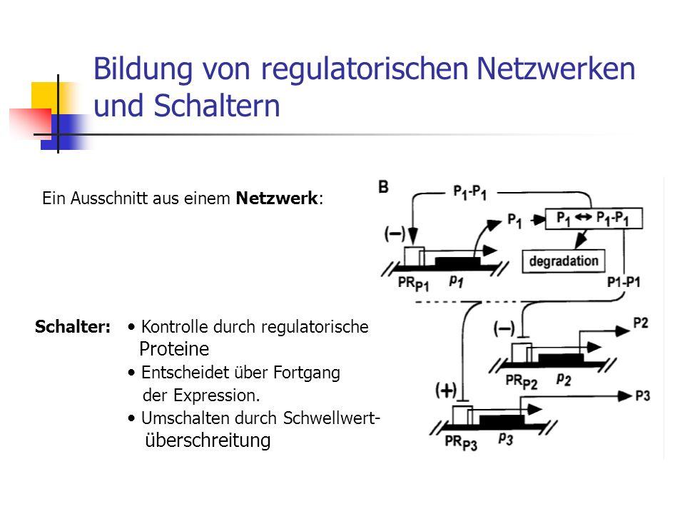Bildung von regulatorischen Netzwerken und Schaltern Ein Ausschnitt aus einem Netzwerk: Schalter: Kontrolle durch regulatorische Proteine Entscheidet