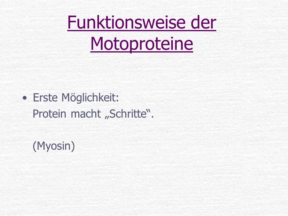 Funktionsweise der Motoproteine Erste Möglichkeit: Protein macht Schritte. (Myosin)