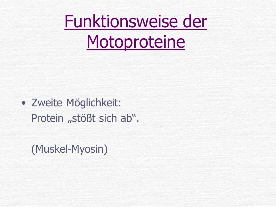 Funktionsweise der Motoproteine Zweite Möglichkeit: Protein stößt sich ab. (Muskel-Myosin)