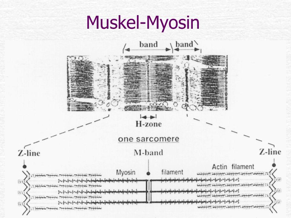 Muskel-Myosin