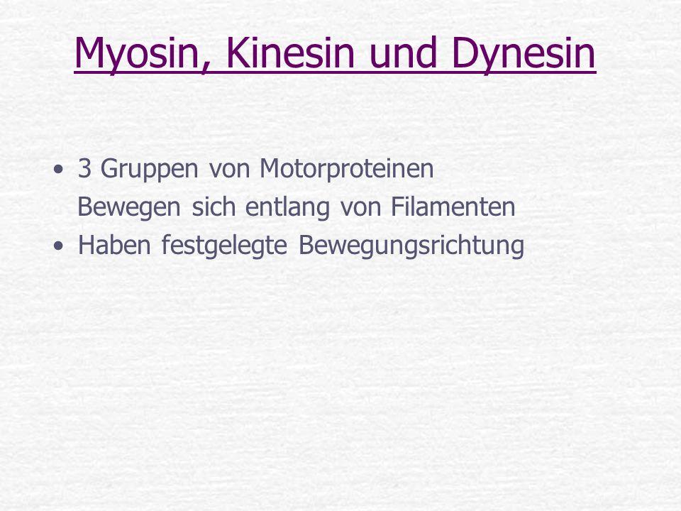 Myosin, Kinesin und Dynesin 3 Gruppen von Motorproteinen Bewegen sich entlang von Filamenten Haben festgelegte Bewegungsrichtung