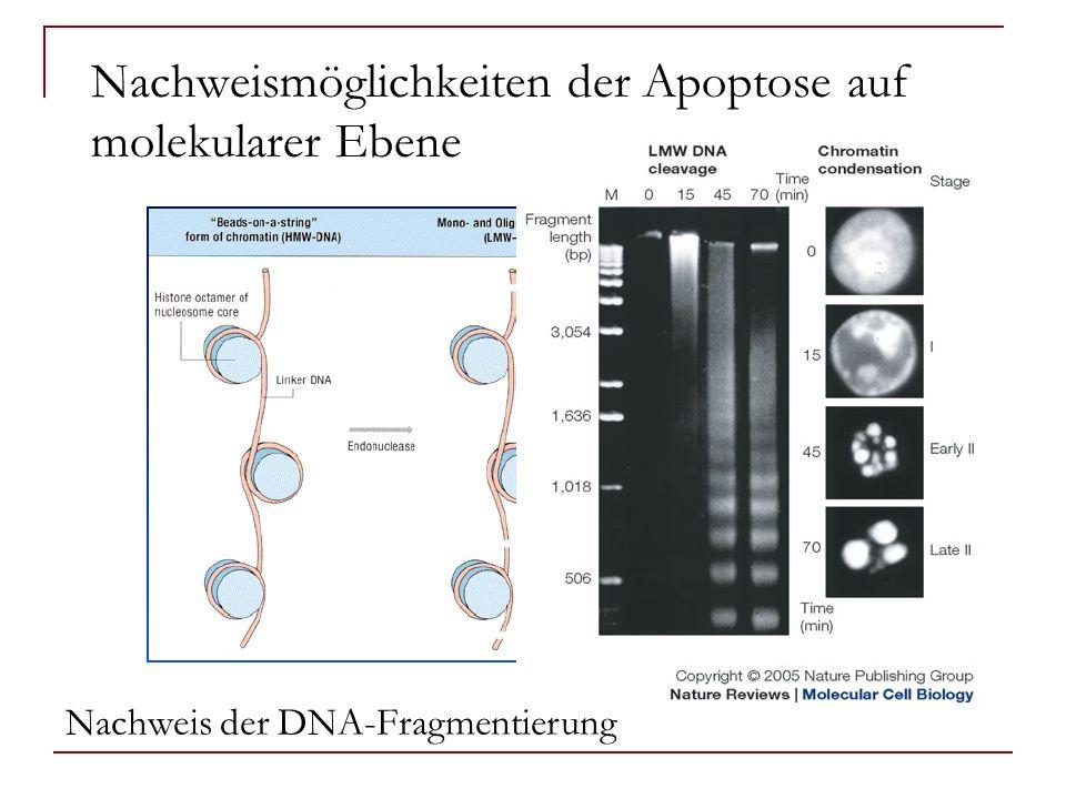 Nachweismöglichkeiten der Apoptose auf molekularer Ebene Nachweis der DNA-Fragmentierung