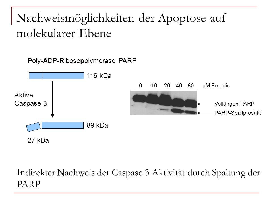 Nachweismöglichkeiten der Apoptose auf molekularer Ebene Poly-ADP-Ribosepolymerase PARP Aktive Caspase 3 116 kDa 89 kDa 27 kDa Vollängen-PARP PARP-Spa