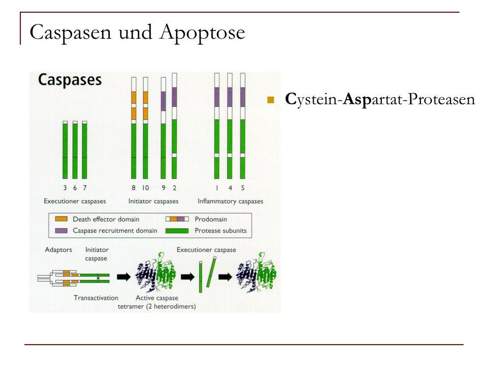 Caspasen und Apoptose Cystein-Aspartat-Proteasen