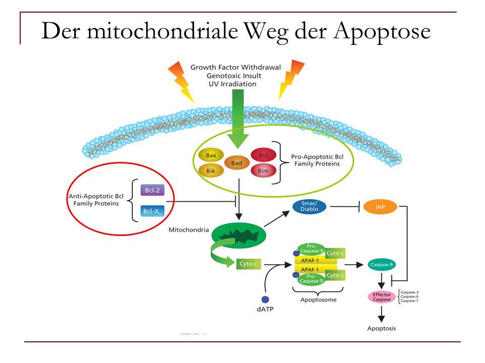 Der mitochondriale Weg der Apoptose