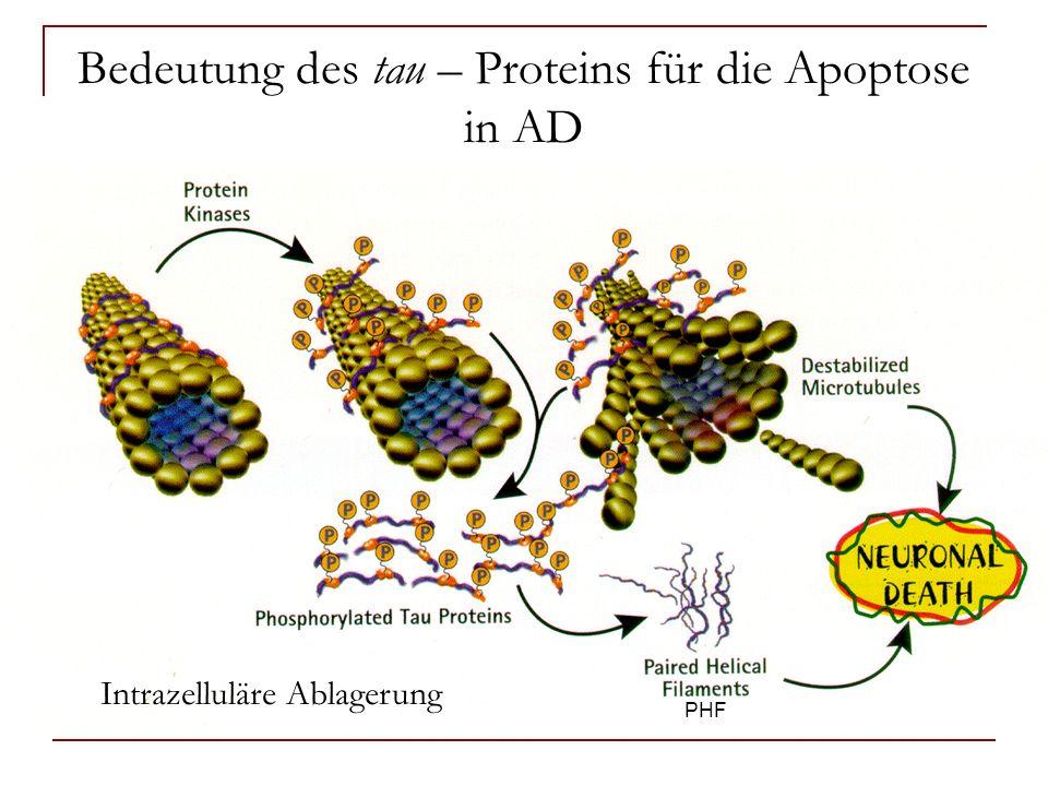 Bedeutung des tau – Proteins für die Apoptose in AD Tau erfährt Konformationsänderungen in AD Es entstehen MC1- reaktive, gefaltete Strukturen des tau