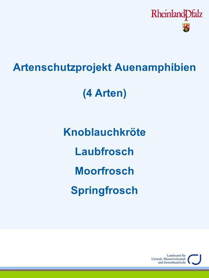 Artenschutzprojekt Auenamphibien (4 Arten) Knoblauchkröte (Pelobates fuscus) Familie: Pelobatidae (Krötenfrösche) Leitart nach Anhang IV der FFH-Richtlinie der Europäischen Union (Richtlinie 92/43 EWG) – Art von gemeinschaftlichem Interesse –