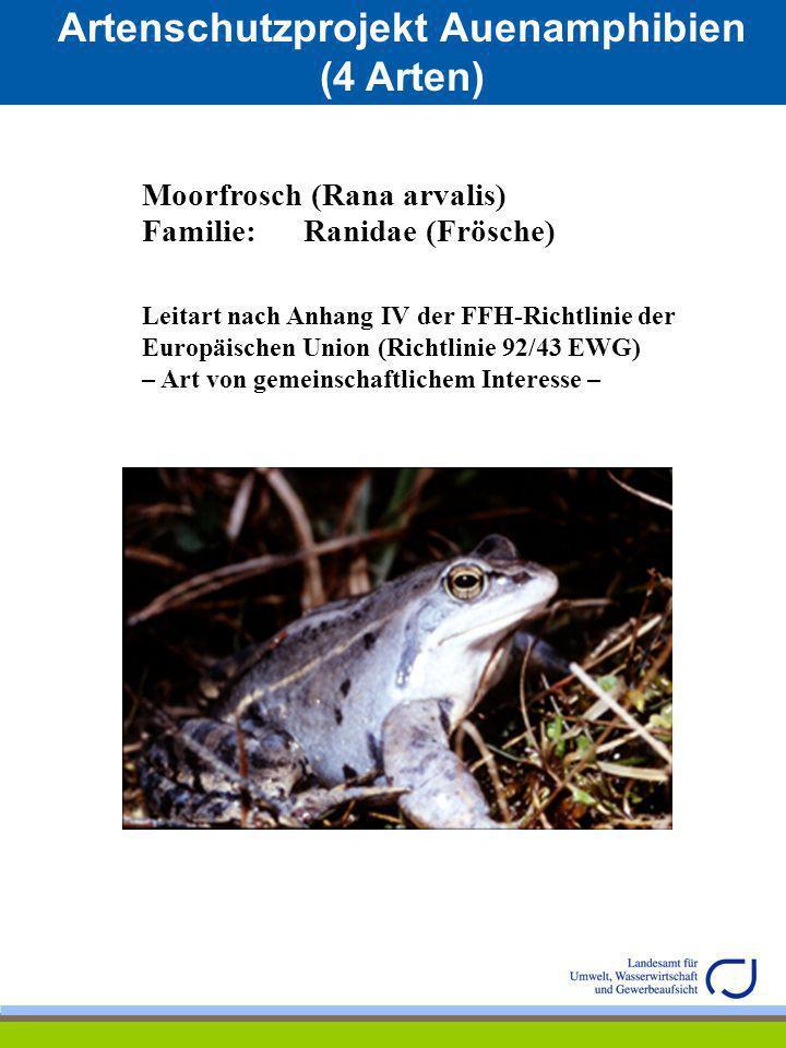 Artenschutzprojekt Auenamphibien (4 Arten) Moorfrosch (Rana arvalis) Familie: Ranidae (Frösche) Leitart nach Anhang IV der FFH-Richtlinie der Europäis