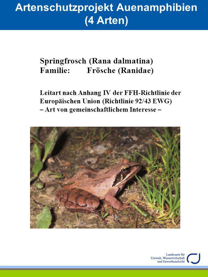 Artenschutzprojekt Auenamphibien (4 Arten) Springfrosch (Rana dalmatina) Familie: Frösche (Ranidae) Leitart nach Anhang IV der FFH-Richtlinie der Euro