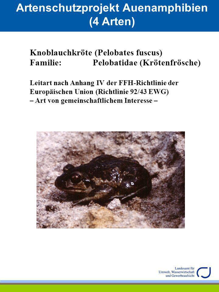 Artenschutzprojekt Auenamphibien (4 Arten) Knoblauchkröte (Pelobates fuscus) Familie: Pelobatidae (Krötenfrösche) Leitart nach Anhang IV der FFH-Richt