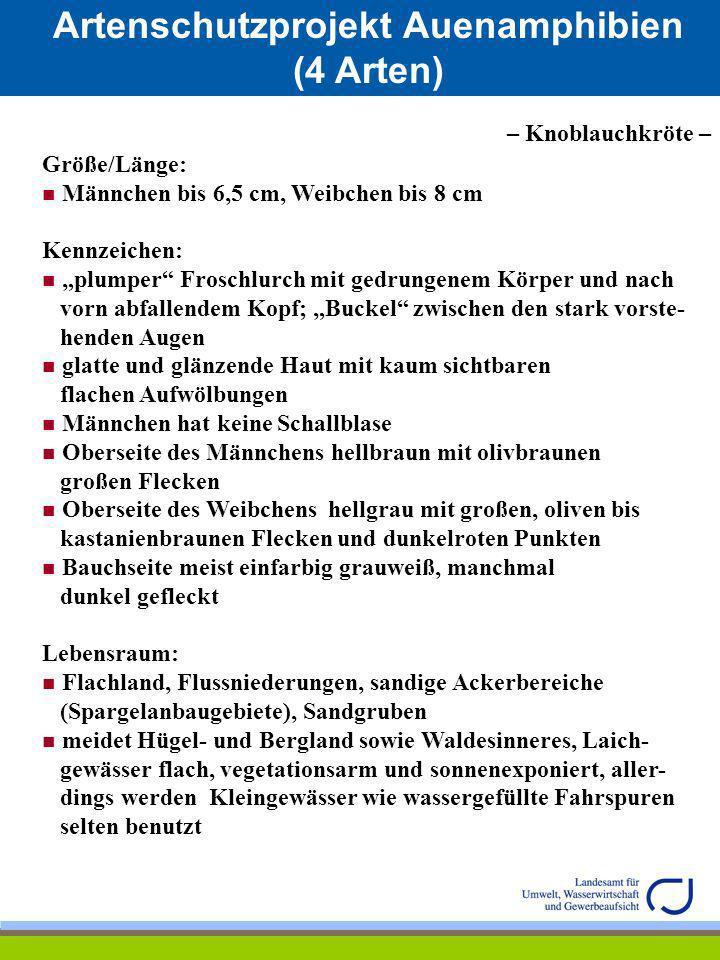 Artenschutzprojekt Auenamphibien (4 Arten) Springfrosch (Rana dalmatina) Familie: Frösche (Ranidae) Leitart nach Anhang IV der FFH-Richtlinie der Europäischen Union (Richtlinie 92/43 EWG) – Art von gemeinschaftlichem Interesse –