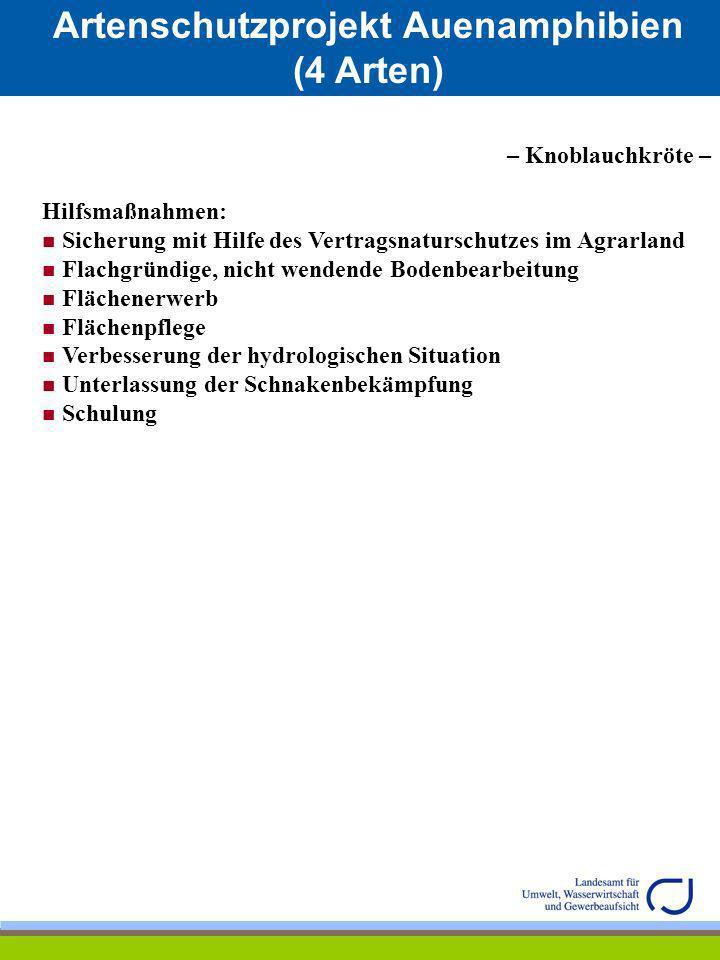 Artenschutzprojekt Auenamphibien (4 Arten) – Springfrosch – Größe/Länge: Männchen bis zu 6 cm Weibchen bis zu 8 cm Kennzeichen: zugespitzte Schnauze Körper sehr schlank wirkend, lange Beine, großes Trommelfell Färbung sehr unterschiedlich: lehmgelb, hellbraun oder rötlichbraun, teilweise einfarbig oder leicht gefleckt Bauchseite nie gefleckt Lebensraum: Flach- und Hügelland, überwiegend in lichten Laubwäldern (insbesondere Eichen- und Buchenhochwälder) Lebensweise: Überwinterung im Schlamm des Gewässergrundes oder in Verstecken an Land tag- und nachtaktiv, besonders bei feuchter Witterung