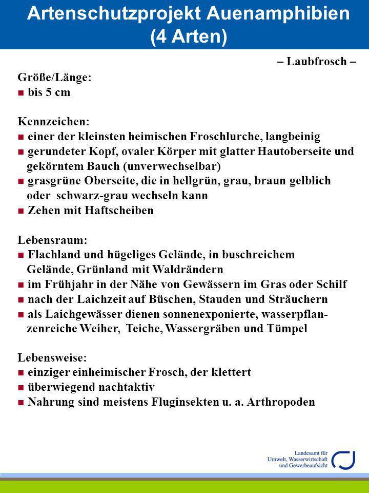 Artenschutzprojekt Auenamphibien (4 Arten) – Laubfrosch – Größe/Länge: bis 5 cm Kennzeichen: einer der kleinsten heimischen Froschlurche, langbeinig g