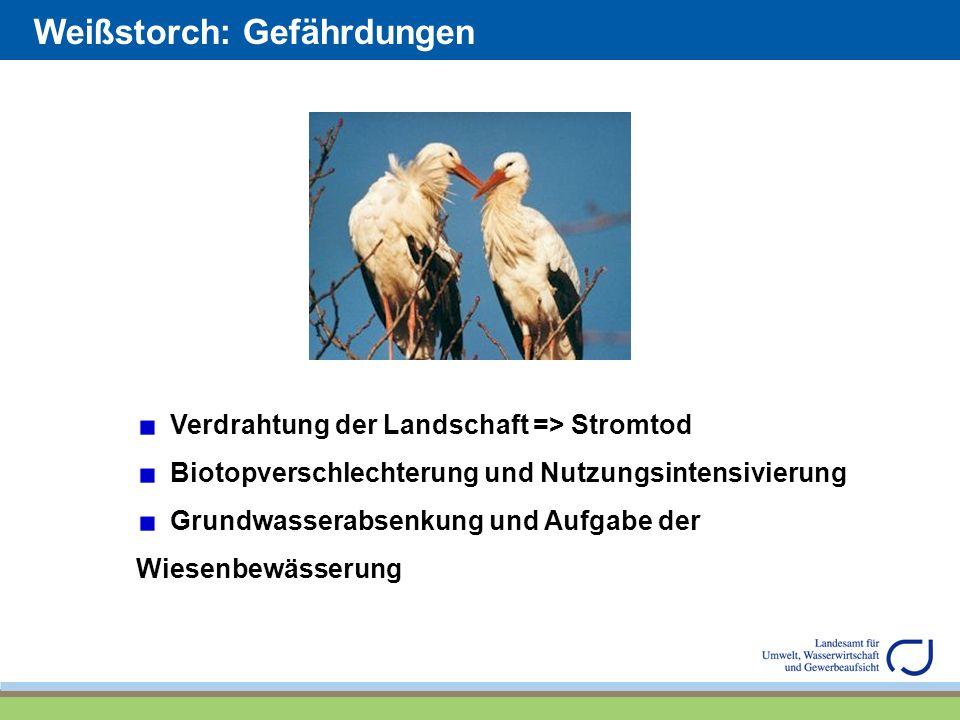 Weißstorch: Gefährdungen Verdrahtung der Landschaft => Stromtod Biotopverschlechterung und Nutzungsintensivierung Grundwasserabsenkung und Aufgabe der Wiesenbewässerung