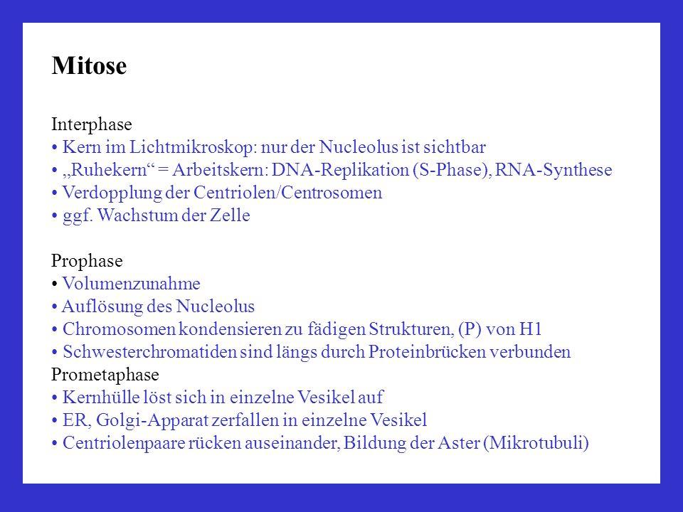 Mitose Interphase Kern im Lichtmikroskop: nur der Nucleolus ist sichtbar Ruhekern = Arbeitskern: DNA-Replikation (S-Phase), RNA-Synthese Verdopplung d