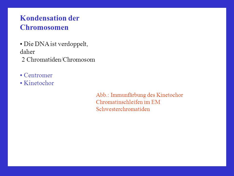 Kondensation der Chromosomen Die DNA ist verdoppelt, daher 2 Chromatiden/Chromosom Centromer Kinetochor Abb.: Immunfärbung des Kinetochor Chromatinsch