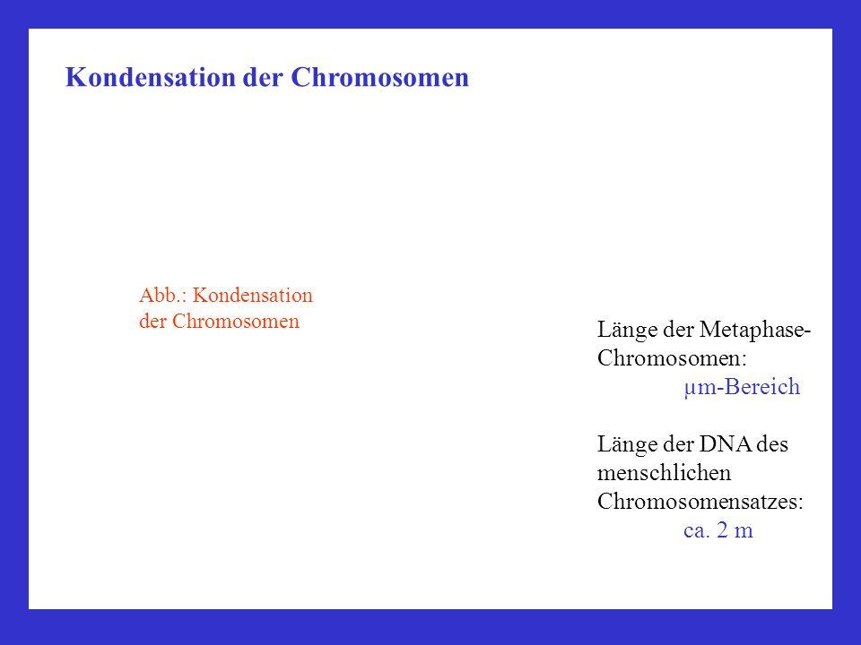 Länge der Metaphase- Chromosomen: µm-Bereich Länge der DNA des menschlichen Chromosomensatzes: ca. 2 m Kondensation der Chromosomen Abb.: Kondensation
