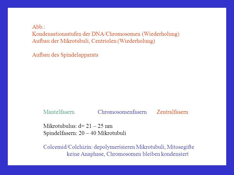 Mantelfasern Chromosomenfasern Zentralfasern Mikrotubulus: d= 21 – 25 nm Spindelfasern: 20 – 40 Mikrotubuli Colcemid/Colchizin: depolymerisieren Mikro
