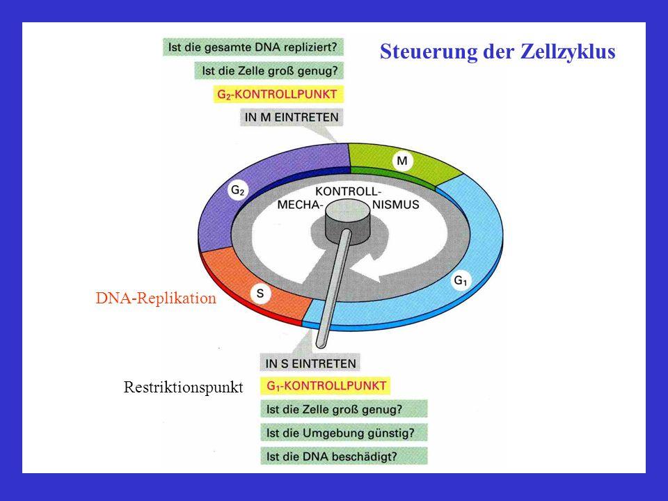 Steuerung der Zellzyklus Restriktionspunkt DNA-Replikation