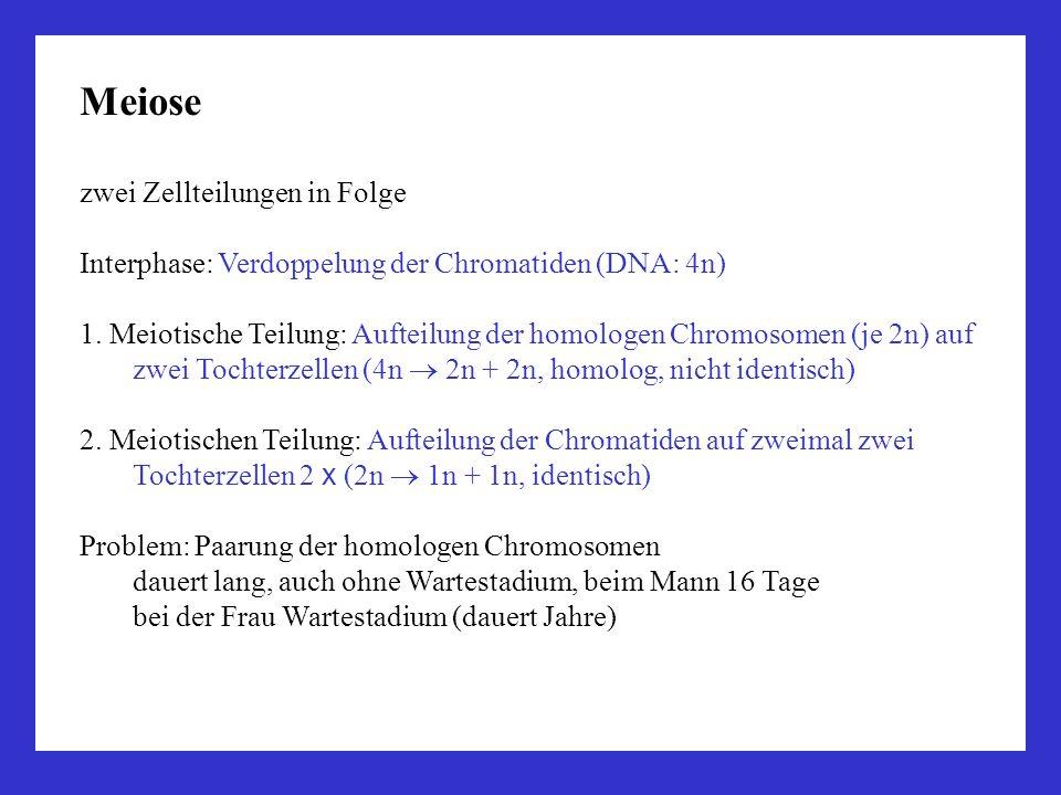 Meiose zwei Zellteilungen in Folge Interphase: Verdoppelung der Chromatiden (DNA: 4n) 1. Meiotische Teilung: Aufteilung der homologen Chromosomen (je