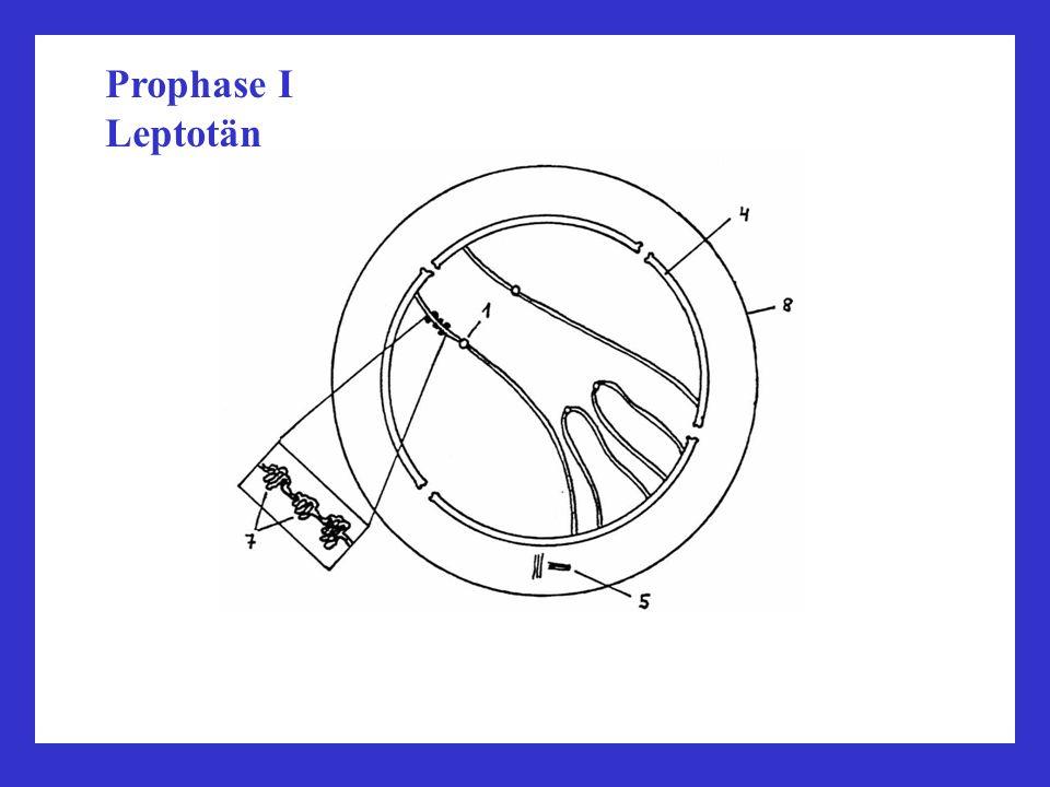 Prophase I Leptotän