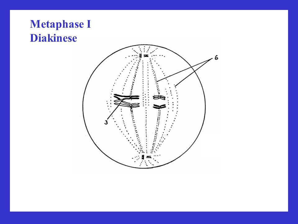 Metaphase I Diakinese