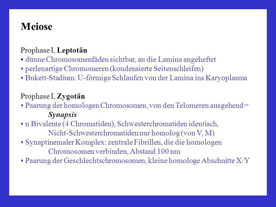 Meiose Prophase I, Leptotän dünne Chromosomenfäden sichtbar, an die Lamina angeheftet perlenartige Chromomeren (kondensierte Seitenschleifen) Bukett-S