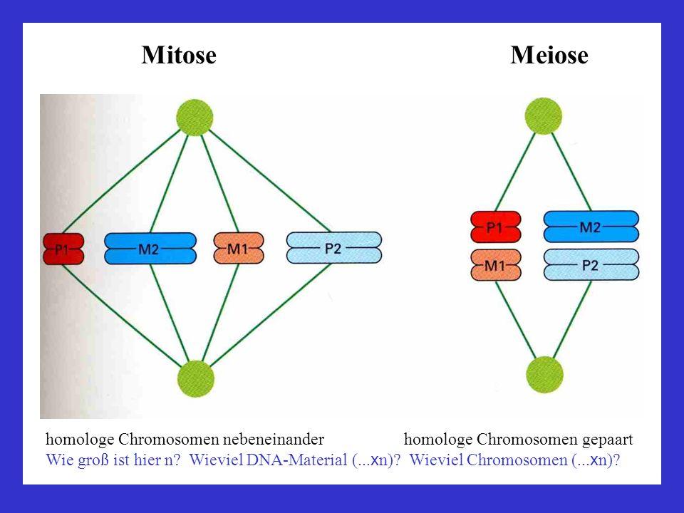 Mitose Meiose homologe Chromosomen nebeneinander homologe Chromosomen gepaart Wie groß ist hier n? Wieviel DNA-Material (... x n)? Wieviel Chromosomen