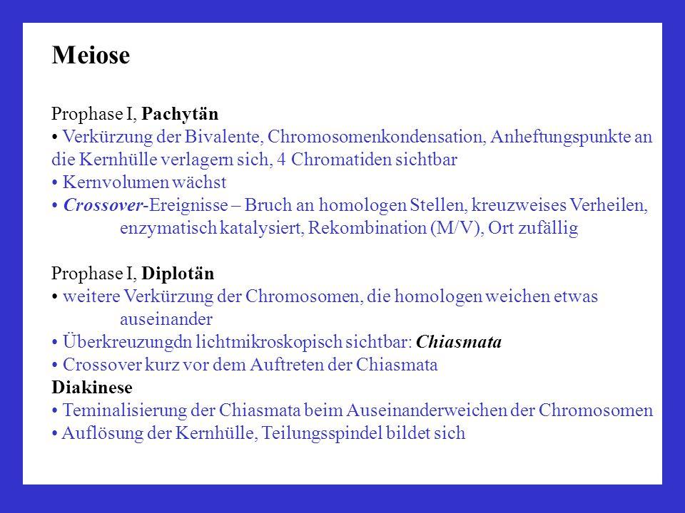 Meiose Prophase I, Pachytän Verkürzung der Bivalente, Chromosomenkondensation, Anheftungspunkte an die Kernhülle verlagern sich, 4 Chromatiden sichtba