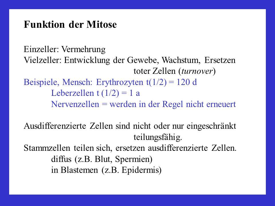 Funktion der Mitose Einzeller: Vermehrung Vielzeller: Entwicklung der Gewebe, Wachstum, Ersetzen toter Zellen (turnover) Beispiele, Mensch: Erythrozyt