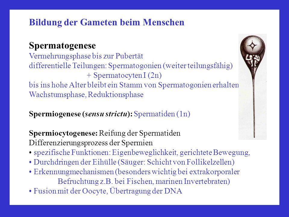 Bildung der Gameten beim Menschen Spermatogenese Vermehrungsphase bis zur Pubertät differentielle Teilungen: Spermatogonien (weiter teilungsfähig) + S