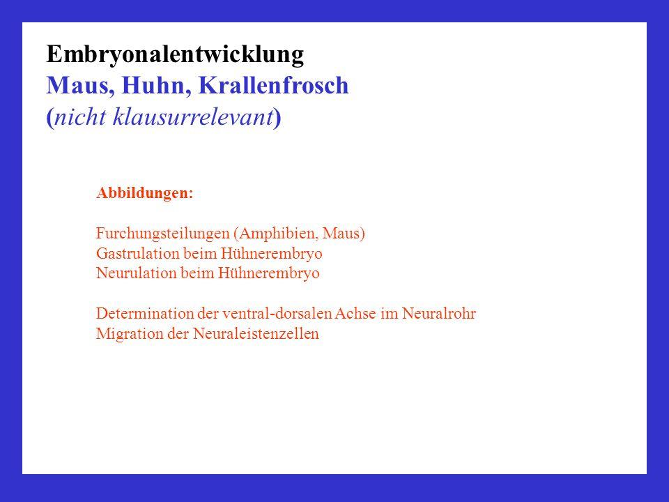 Embryonalentwicklung Maus, Huhn, Krallenfrosch (nicht klausurrelevant) Abbildungen: Furchungsteilungen (Amphibien, Maus) Gastrulation beim Hühnerembry