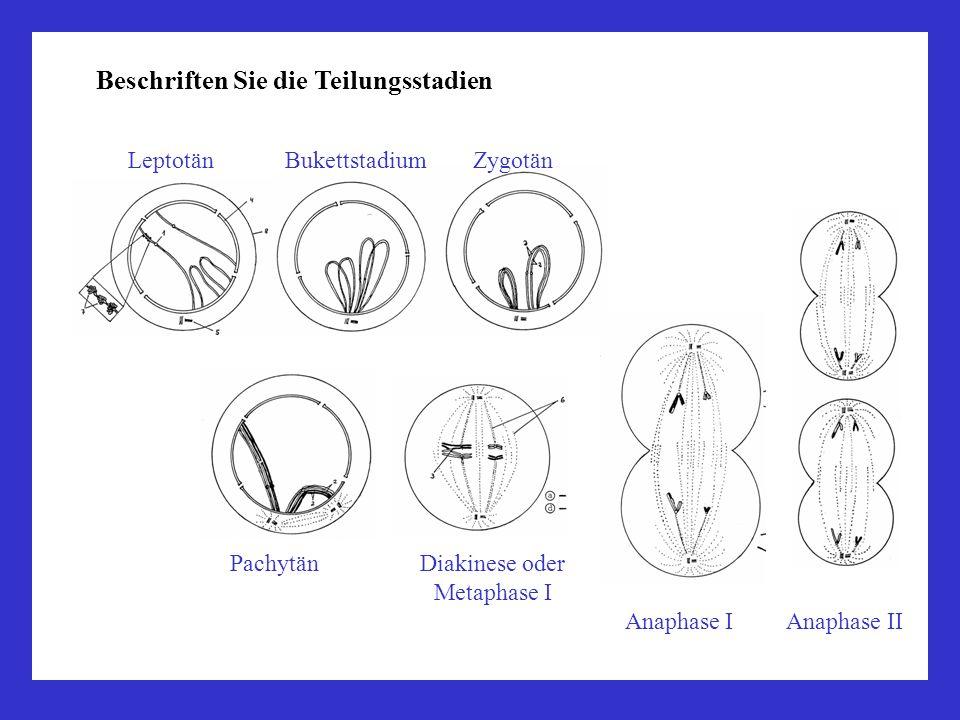 Beschriften Sie die Teilungsstadien Leptotän Bukettstadium Zygotän Pachytän Diakinese oder Metaphase I Anaphase I Anaphase II