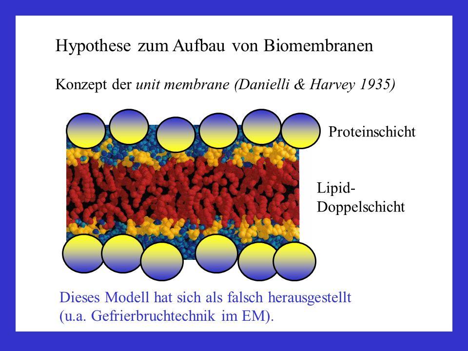 Hypothese zum Aufbau von Biomembranen Konzept der unit membrane (Danielli & Harvey 1935) Proteinschicht Lipid- Doppelschicht Dieses Modell hat sich al