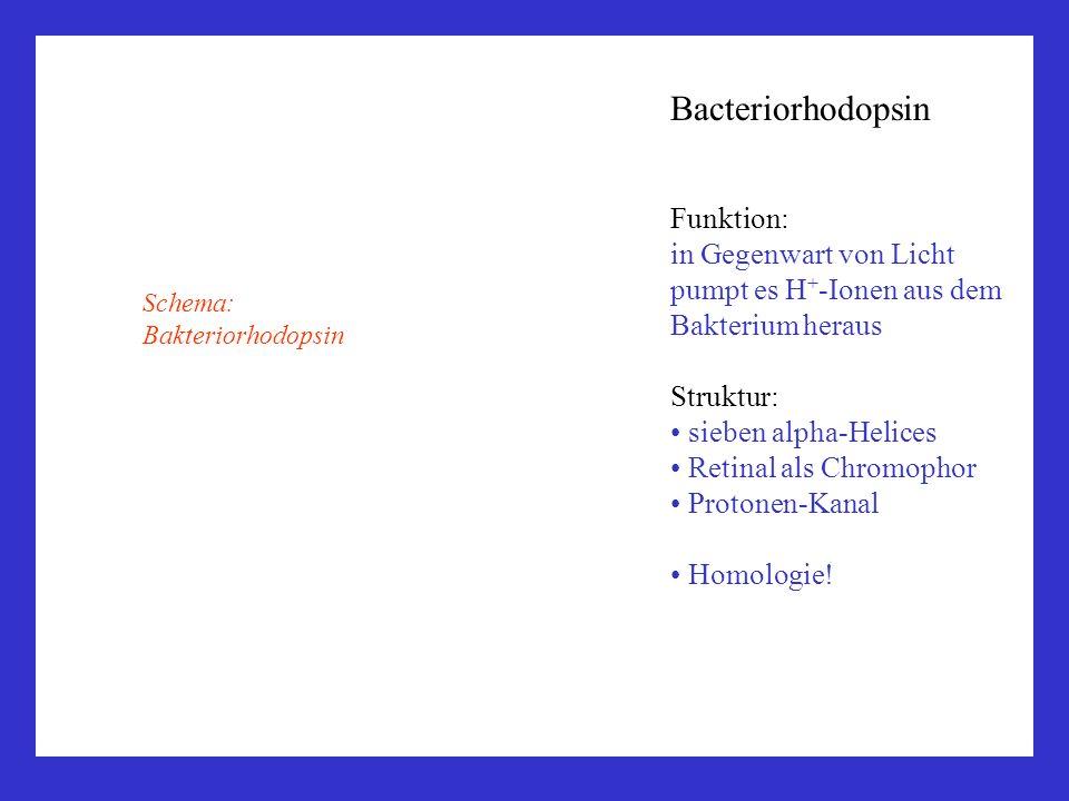 Bacteriorhodopsin Funktion: in Gegenwart von Licht pumpt es H + -Ionen aus dem Bakterium heraus Struktur: sieben alpha-Helices Retinal als Chromophor