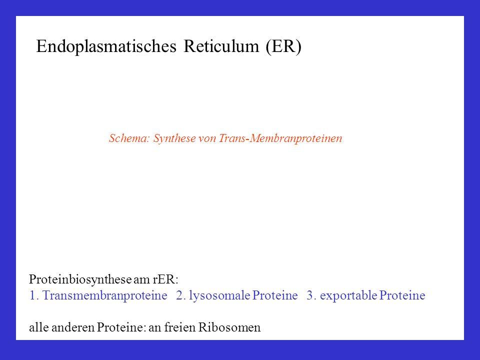 Endoplasmatisches Reticulum (ER) Proteinbiosynthese am rER: 1. Transmembranproteine 2. lysosomale Proteine 3. exportable Proteine alle anderen Protein