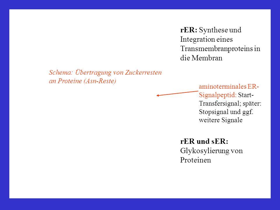 rER: Synthese und Integration eines Transmembranproteins in die Membran aminoterminales ER- Signalpeptid: Start- Transfersignal; später: Stopsignal un